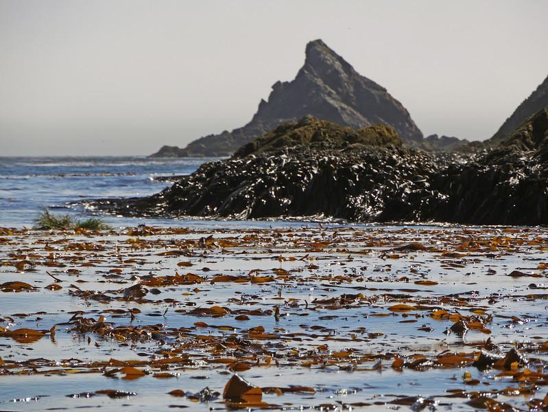 Kelp beds at Elsehul, South Georgia, British Sub-Antarctic Territory