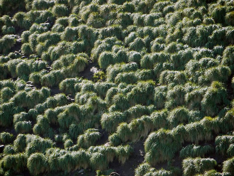 Tussock grass coats the hillsides around Elsehul, South Georgia, British Sub-Antarctic Territory