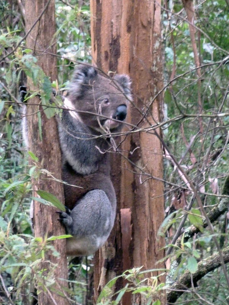Koala up a tree on the grounds of the eco-resort along the Great Ocean Road, Victoria, Australia