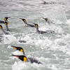 King penguins in the water at the Salisbury Plain, South Georgia, British Sub-Antarctic Territory