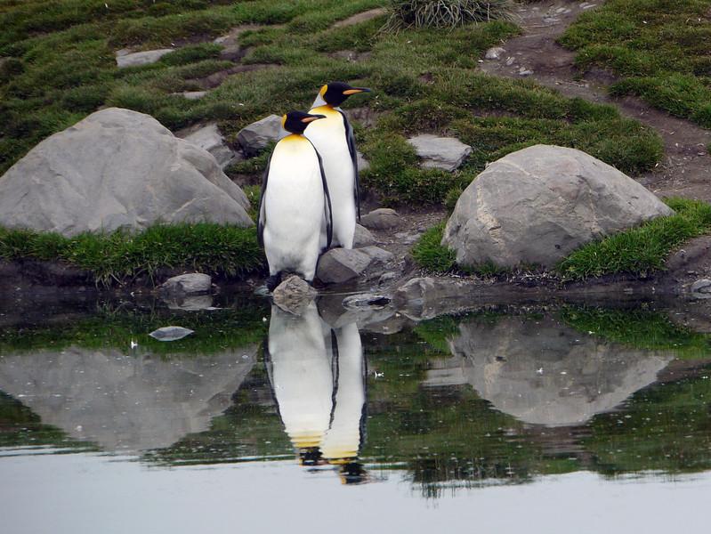 King penguin couple at St Andrew's Bay, South Georgia, British Sub-Antarctic Territory