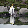 King penguin couple at St Andrew's Bay, South Georgia, British Sub-Antarctic Territory
