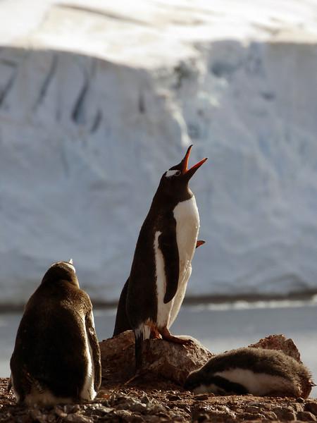 """Call of the Wild"" - Gentoo penguin on Cuverville Island, mainland Antarctic peninsula"