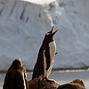 """Call of the Wild"" - Gentoo penguin on Cuverville Island, mainland Antarctic peninsula"