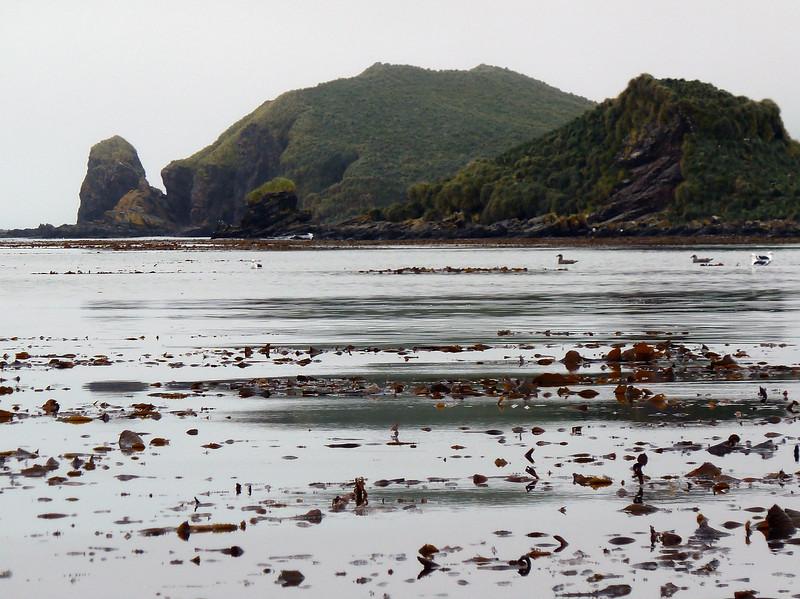 The kelp strewn bay of Elsehul, South Georgia, British Sub-Antarctic Territory