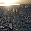 A solitary dejected king penguin trails a sunrise rainbow path along the beach at the Salisbury Plain, South Georgia, British Sub-Antarctic Territory