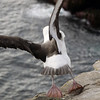 Black browed albatross taking off from New Island, Falkland Islands