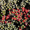 Diddle-dee berries on the slopes of Mount Tumbledown, Falkland Islands