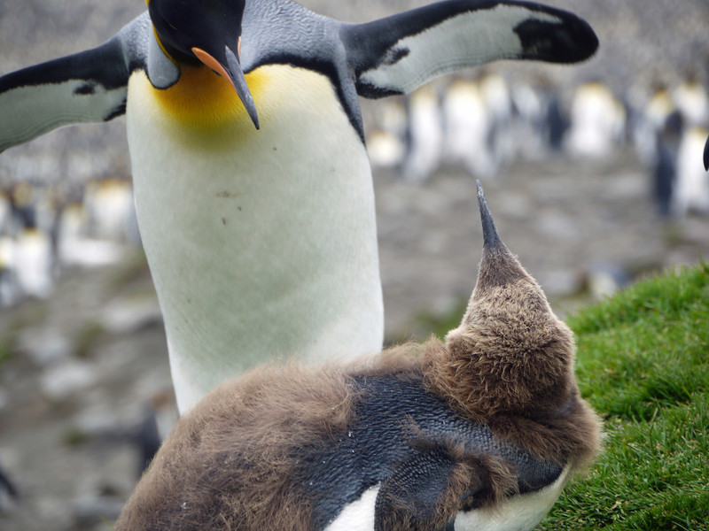 King penguin mother and adolescent chick at St Andrew's Bay, South Georgia, British Sub-Antarctic Territory