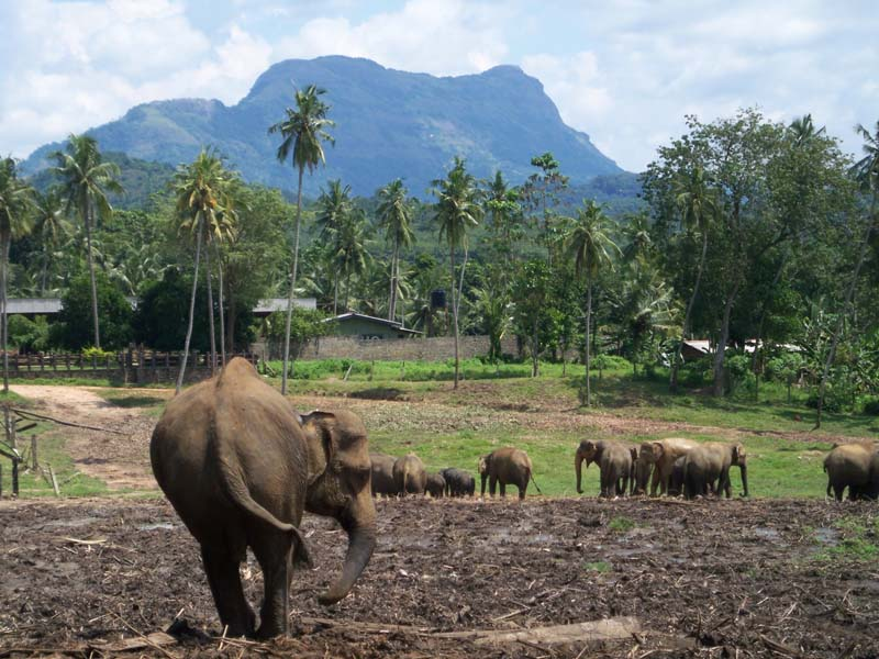 Grazing pachyderms at the sanctuary in Sri Lanka.