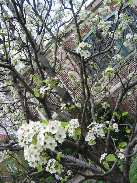GRanny's tree abloom in the backyard of Urnsite, one year after planting in memoriam