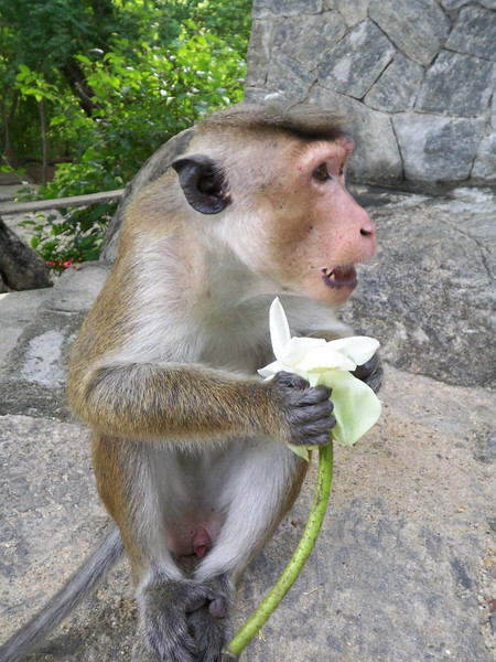 MIschevious flower eaters stake out the temples in Sri Lanka.