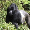 Uneasy encounter King silverback in Volcanoes National Park, Rwanda.