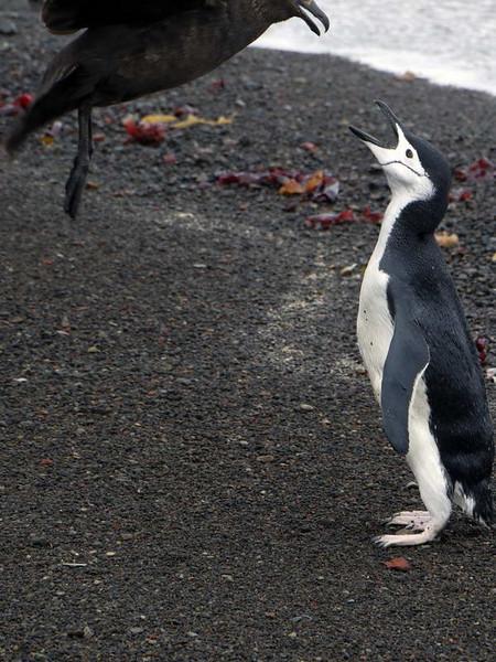 Skua attacks and kills a weakened chinstrap penguin on the beach at Deception Island, South Shetland Islands, Antarctica