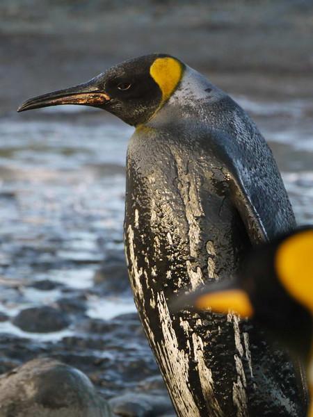 Dirty bird on the Salisbury Plain, South Georgia, British Sub-Antarctic Territory