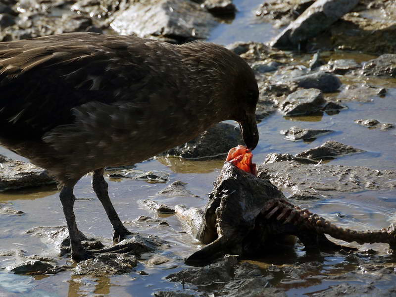 Skua makes a meal of a penguin carcass on Cuverville Island, mainland Antarctic peninsula