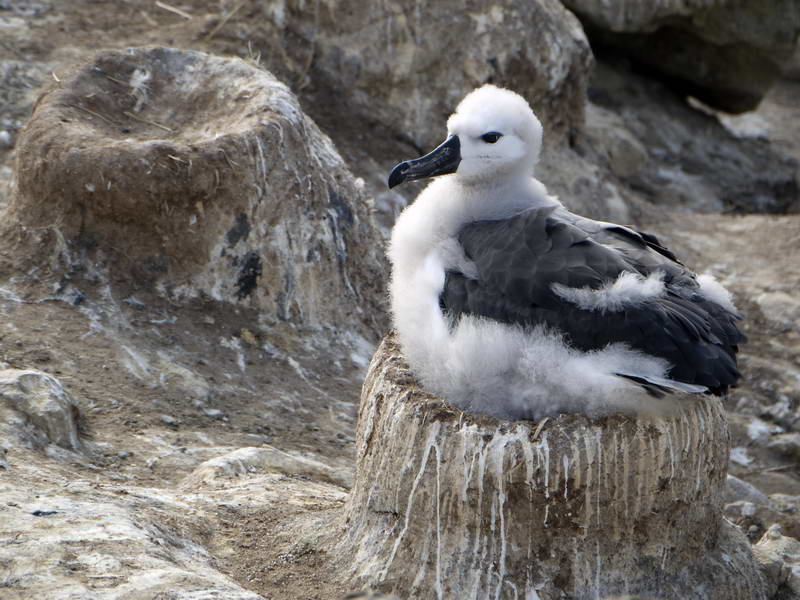 Nesting black browed albatross chick on New Island, Falkland Islands