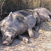"""Guard pigs"" on the path to the summit in rural Sardinia, Italy."