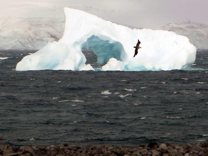 Skua in flight in front of an iceberg off Half Moon Island, South Shetland Islands, Antarctica