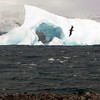 Skua in flight in front of an iceberg off Half Moon Island, South Shetland Islands, Antarctica