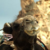 Camel poses for the camera at the Devrent Pasa Baglari (Fairy Chimneys) in Kapydokia Turkey.