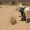 A lost donkey in the desert on the way back to Tamarasset, Algeria