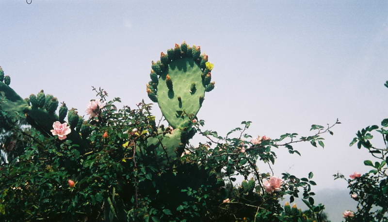 Happy cactus in the Canary Islands.