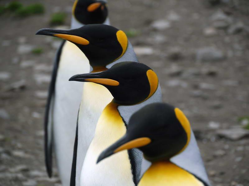 King penguin line up at St Andrew's Bay, South Georgia, British Sub-Antarctic Territory