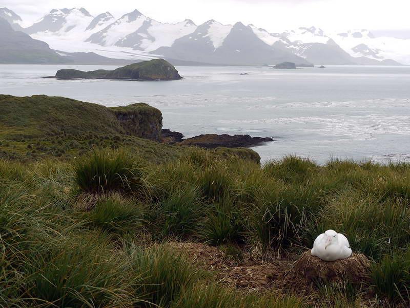 Nesting wandering albatross on top of Prion Island, South Georgia, British Sub-Antarctic Territory