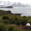 Nesting wandering albatross on top of Prion Island, South Georgia, British Sub-Antarctic Territory