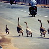 Halal geese on the road in rural Malaysia.