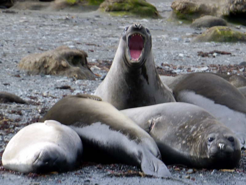 Angry elephant seal on the beach at Cooper Bay, South Georgia, British Sub-Antarctic Territory