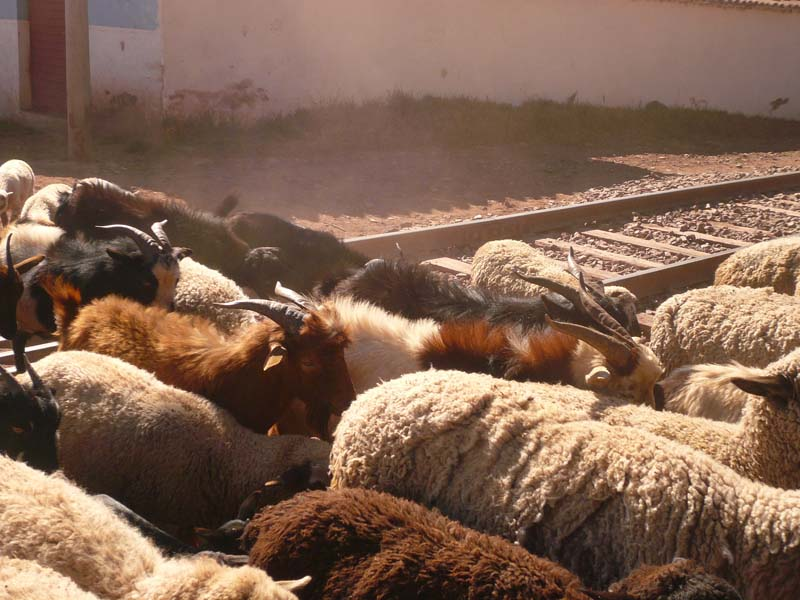 Detail of sheep back crossing in the Urubamba valley, Peru.