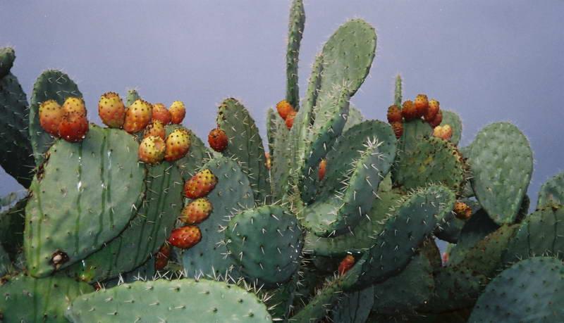 Blooming cacti between Tunis and Bulla Regia, Tunisia.
