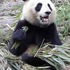 A hungry panda in Chengdu, China.