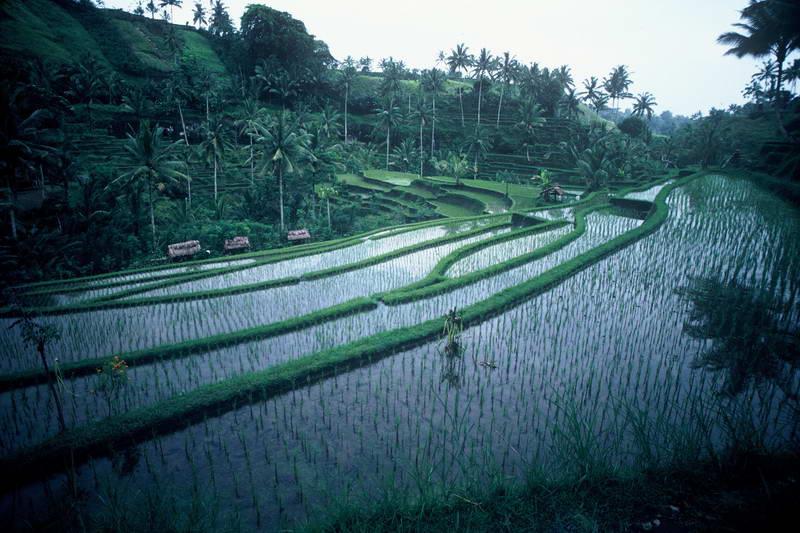 Terraced crops outside of Ubud,Bali.