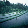 Terraced crops outside of Ubud,Bali.