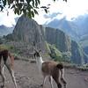 Photogenic llamas desert us on the path to the sun gate at Machu Picchu, Peru.