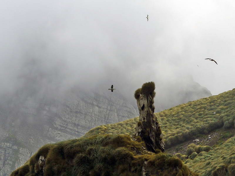 Black browed, grey headed & light mantled sooty albatrosses in flight above the Willis Islands, South Georgia, British Sub-Antarctic Territory