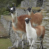 Photogenic llamas line up on the path to the sun gate in Machu Picchu, Peru.
