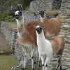 Photogenic llamas line up on the path to the sun gate in Machu Picchu, Peru.