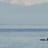 Killer whales off Orcas island in northwest Washington state
