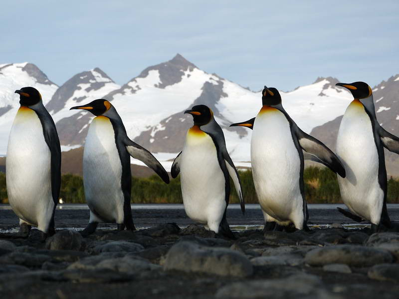 King penguins marching uphill to the colony on the Salisbury Plain, South Georgia, British Sub-Antarctic Territory