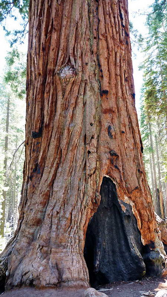 An ancient giant sequoia damaged by brush fire in Yosemite National park, California