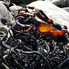 Beachside flotsam and kelp on Carcass Island, Falkland Islands