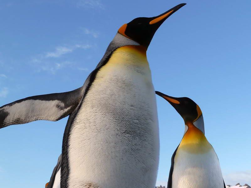 King penguins on the Salisbury Plain, South Georgia, British Sub-Antarctic Territory