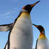 King penguins on the Salisbury Plain, South Georgia, British Sub-Antarctic Territory