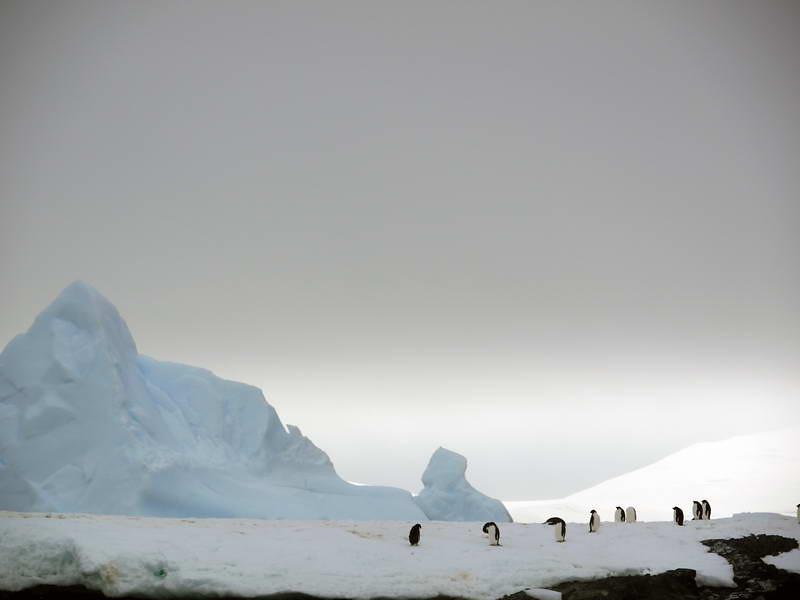 Stoic Gentoo penguins at Detaille Island, Antarctic peninsula