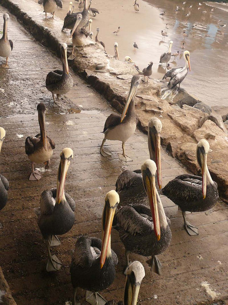 Pelicans on parade in Lima Peru.