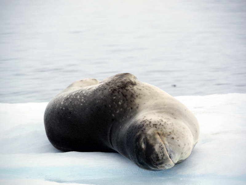 Leopard seal on an ice flow in the Crystal Sound, Antarctic peninsula